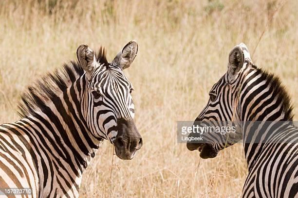 Zèbre au Kenya