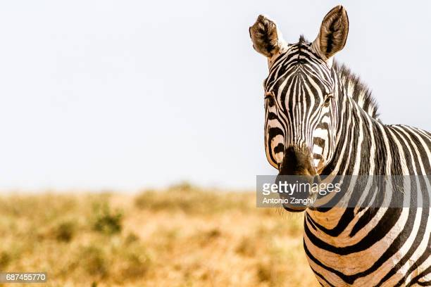Zebra in Kenya's Tsavo Reserve, Kenya