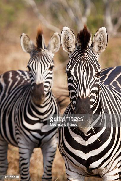 Zebra in Kruger Park, South Africa