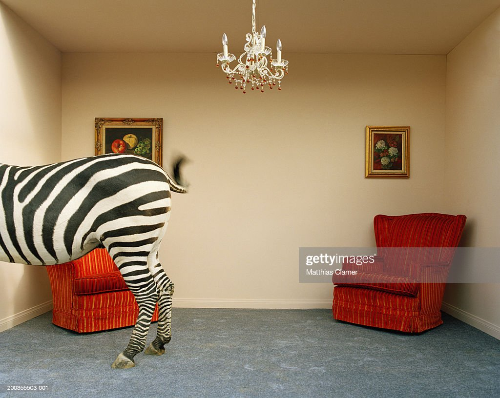 Zebra In Living Room Swishing Tail Rear Section Stock-Foto ...