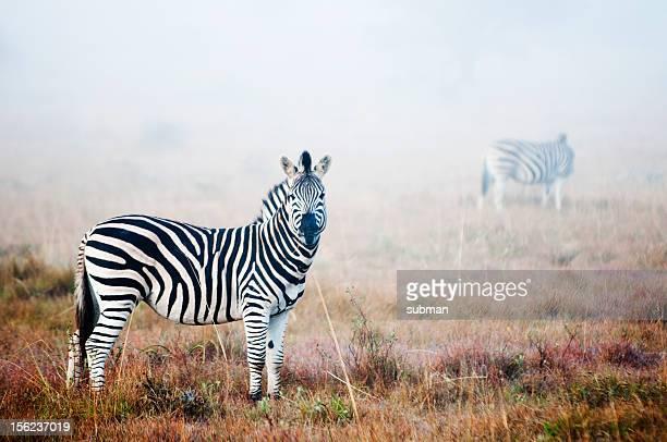 Zebra in mist