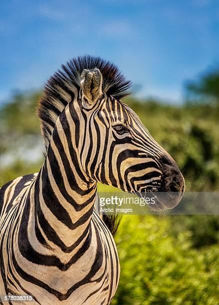 Zebra in Namibia, Africa
