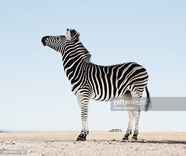 zebra (equus burchellii) in open landscape, (digital enhancement) - zebra stock pictures, royalty-free photos & images