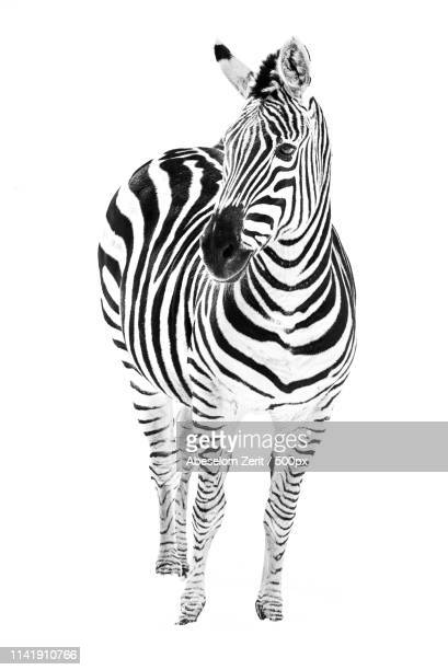 zebra in snow vi - zebra stock pictures, royalty-free photos & images