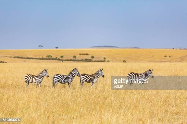 Zebra in the Africa