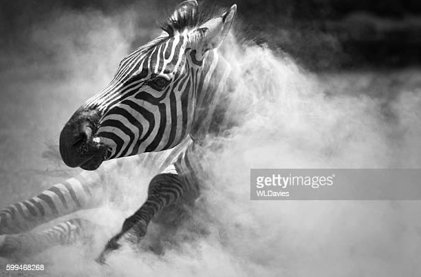 Zebra in the dust