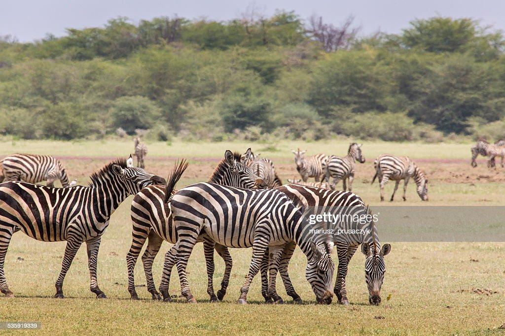 Zebra in the grass, Ngorongoro Crater, Tanzania. : Stock Photo