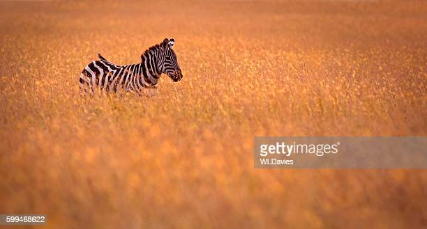 Zebra in Gras