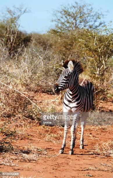 Zebra in the Madikwe Game Reserve in South Africa
