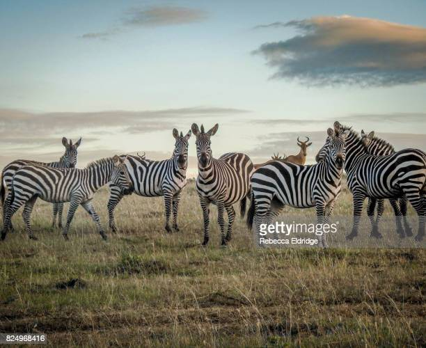 zebra in the masai mara - zebra stock pictures, royalty-free photos & images
