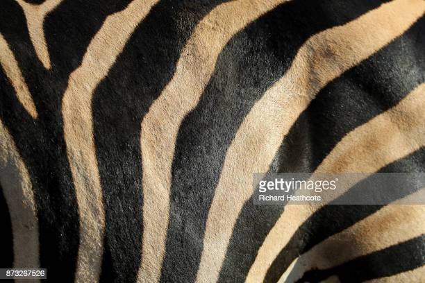 Zebra in the Pilanesberg National Park before the third round of the Nedbank Golf Challenge at Gary Player CC on November 11 2017 in Sun City South...
