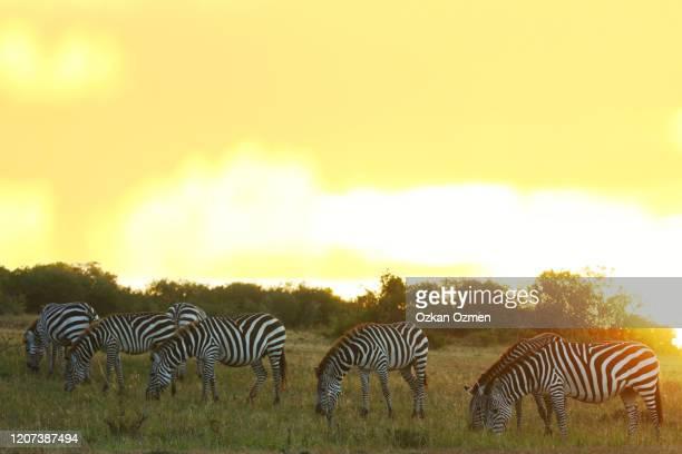 zebra in the wilderness of africa - erbivoro foto e immagini stock