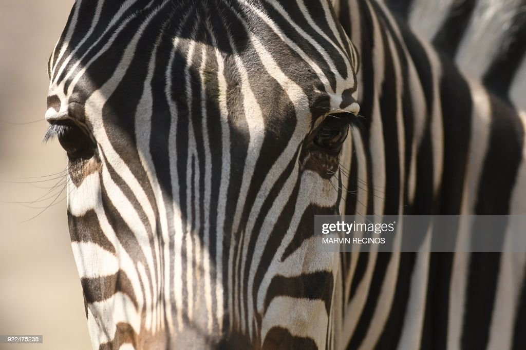 A zebra (Equus quagga) is pictured at Salvador's National Zoo on February 21, 2018. /