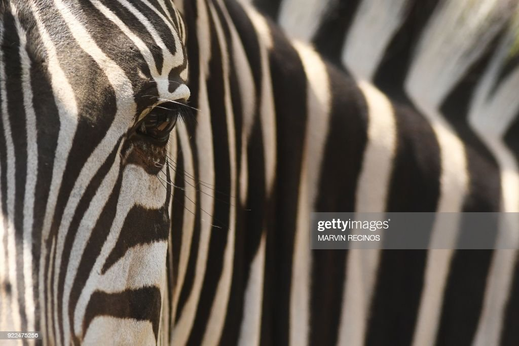 EL SALVADOR-ANIMAL-ZOO-ZEBRA : News Photo