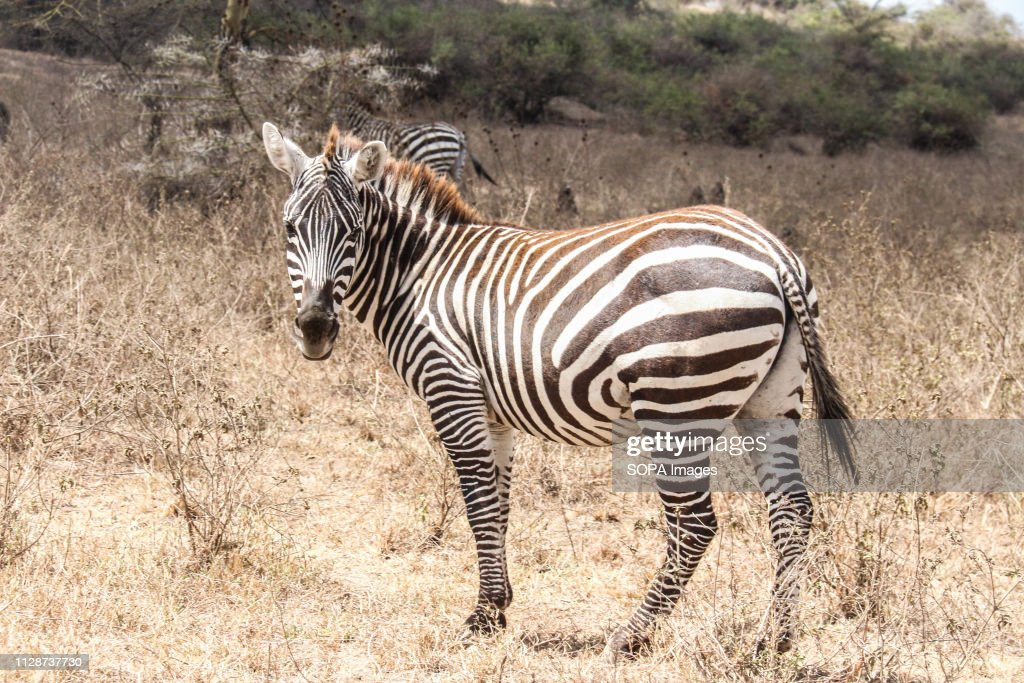 A zebra is seen grazing in Lake Nakuru National Park in a... : News Photo