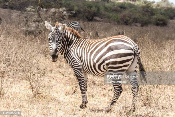 A zebra is seen grazing in Lake Nakuru National Park in a day that World Wildlife Day was celebrated