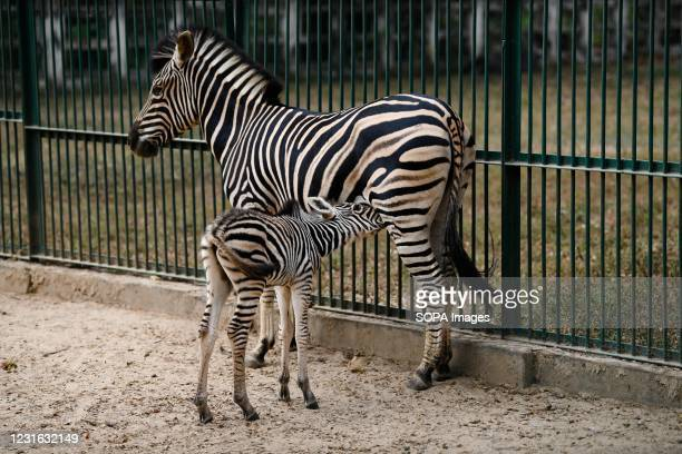 Zebra is seen in an enclosure in Dhaka zoo. Bangladesh National Zoo is located in the Mirpur section of Dhaka, the capital city of Bangladesh. The...