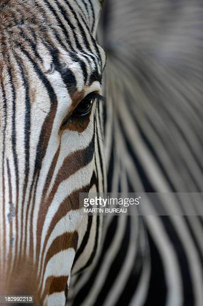 A zebra is seen on October 3 2010 at the zoo in Antwerp AFP PHOTO / MARTIN BUREAU