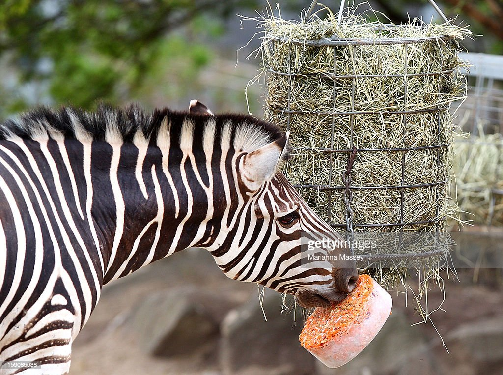 A Zebra is treated to a block of frozen carrots at Taronga Zoo on January 8, 2013 in Sydney, Australia. Temperatures are expected to reach as high as 43 degrees around Sydney today.