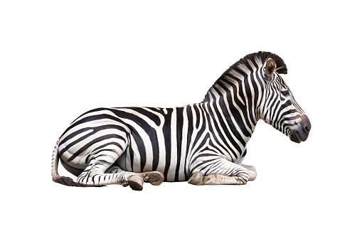 zebra isolated on white background 695344654