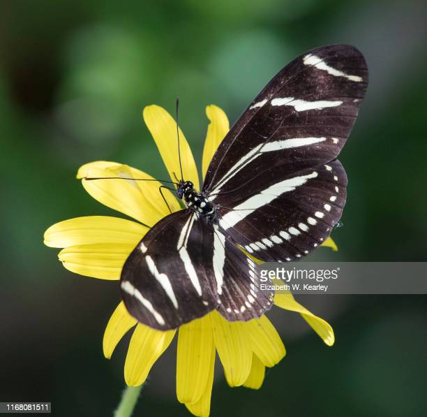 zebra longwing butterfly - national forest stock pictures, royalty-free photos & images
