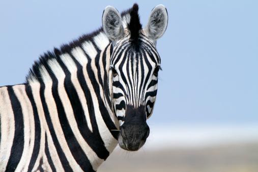 Zebra looking at camera, Etosha National Park, Namibia 157681146