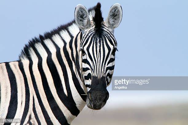 zebra looking at camera, etosha national park, namibia - zebra stock pictures, royalty-free photos & images
