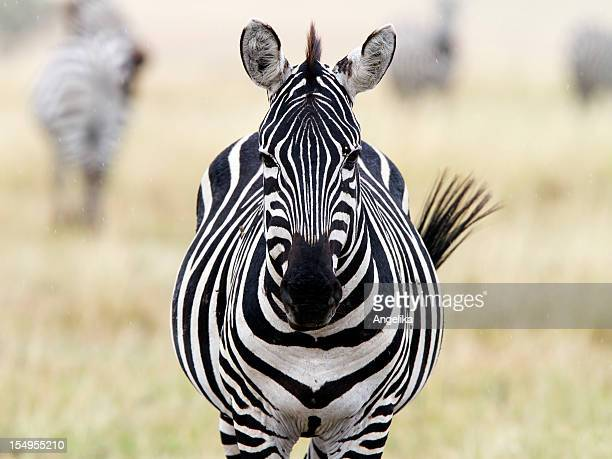 Zebra looking at camera, Masai Mara National Park, Kenya