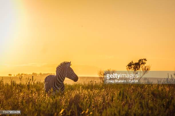 zebra looking away standing against sky during sunset - zebra stock pictures, royalty-free photos & images