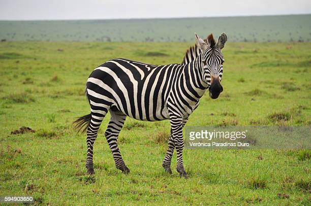 zebra, masai mara national reserve - zebra stock pictures, royalty-free photos & images