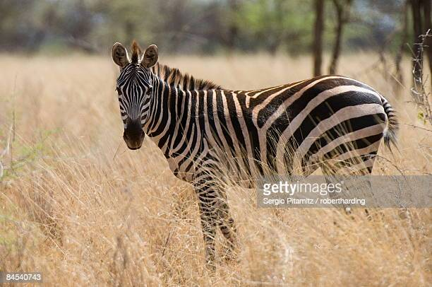 zebra, meru national park, kenya, east africa, africa - meru filme stock-fotos und bilder