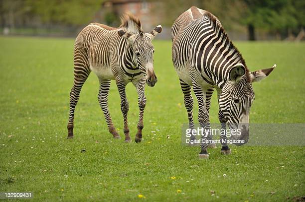 A zebra mother and foal grazing outdoors at Marwell Zoo Winchester April 30 2010