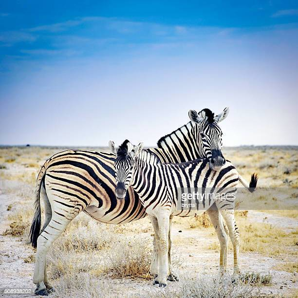 zebra mother and her foal in etosha national park,namibia - zebra stock pictures, royalty-free photos & images