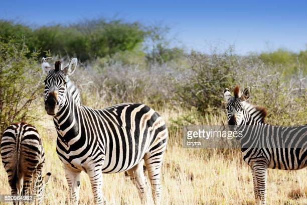 Zebra mother with two youngsters in the Madikwe Game Reserve in South Africa