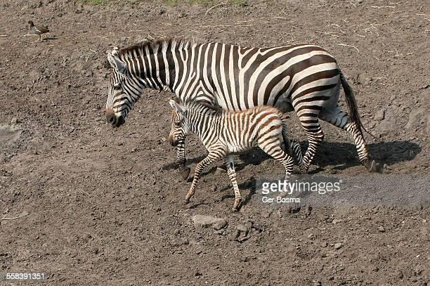 Zebra motherhood