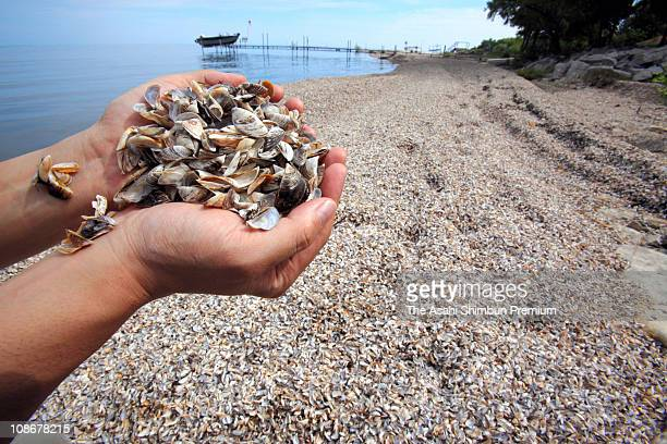Zebra Mussel shells are seen filling a beach of Lake Michigan on June 17 2009 in Green Bay Wisconsin