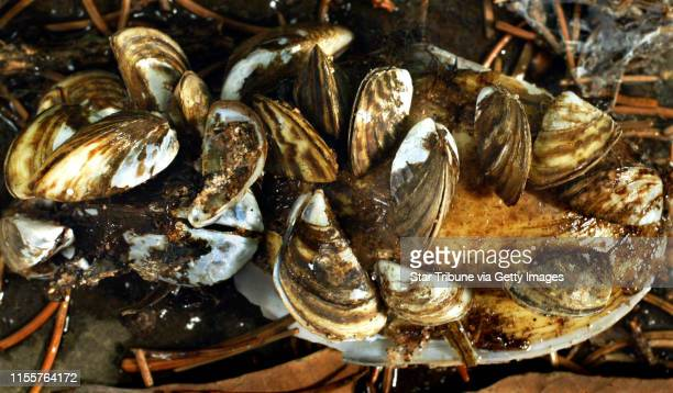 Zebra mussels found on a beach near Superior WI
