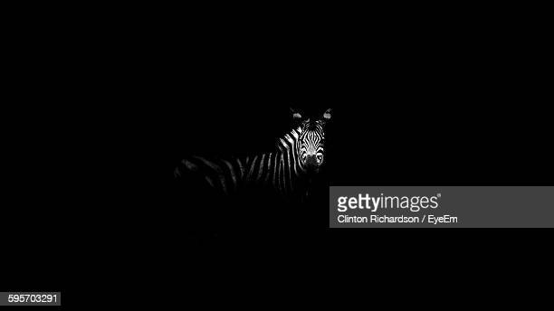 Zebra On Field At Night