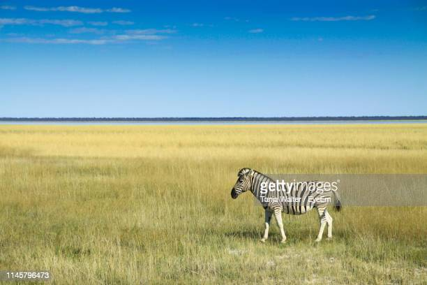 zebra on grassy field against blue sky - semi arid stock pictures, royalty-free photos & images