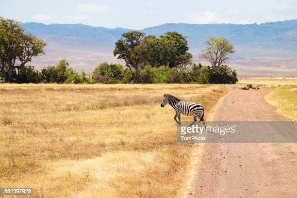 zebra on the meadow at ngorongoro conservation - arusha national park stock photos and pictures