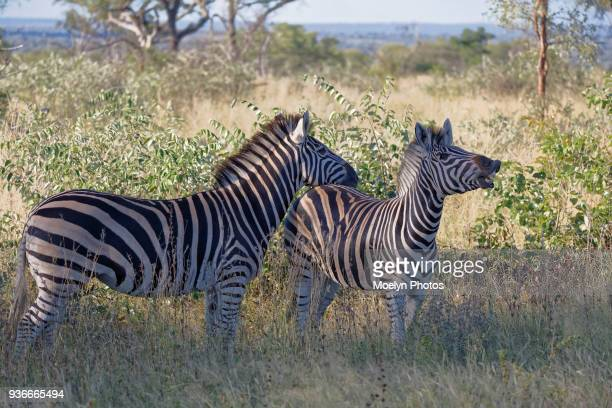 Zebra Pair in the Grass