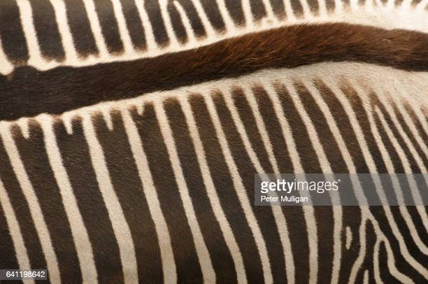 zebra patterns - parallel stock photos and pictures