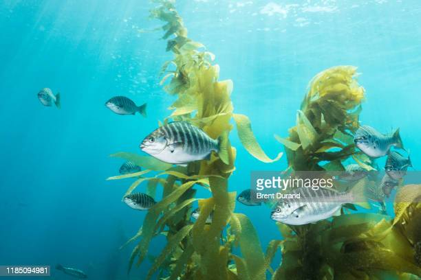 zebra perch in california kelp forest - perch fish stock pictures, royalty-free photos & images