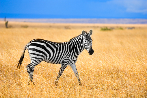 Zebra 115962508
