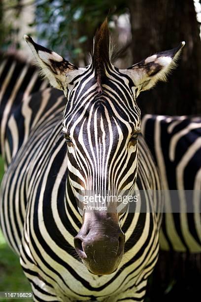 zebra - safari animals stock photos and pictures