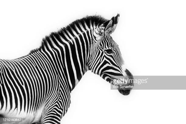 zebra - zebra stock pictures, royalty-free photos & images