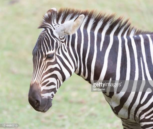 zebra - ian gwinn fotografías e imágenes de stock