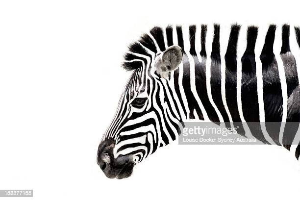 zebra - zebra stock pictures, royalty-free photos & images