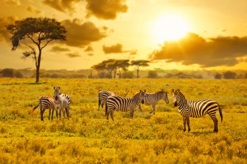 Zebra 164497407