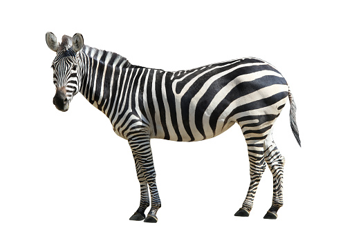 Zebra 482011526